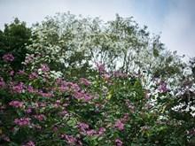 [Fotos] Flor de Bauhinia: un poco de zonas montañosas noroestes en Hanoi