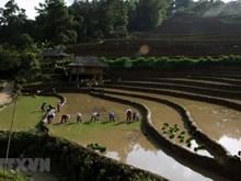 [Fotos] Inicia la siembra del arroz en arrozales en terrazas de las cordilleras en Vietnam
