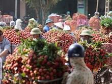 [Fotos] Cultivadores de lichi Luc Ngan disfrutan de cosecha temprana