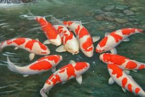 Vietnam vietnamplus for Cria de peces ornamentales