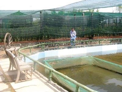Cr a de peces ornamentales reporta alto ingreso vietnam for Criadero de peces ornamentales